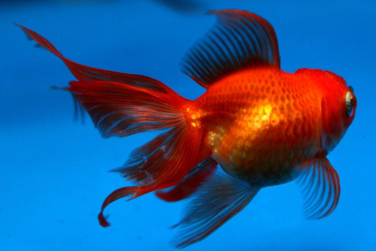 Hvad spiser guldfisk
