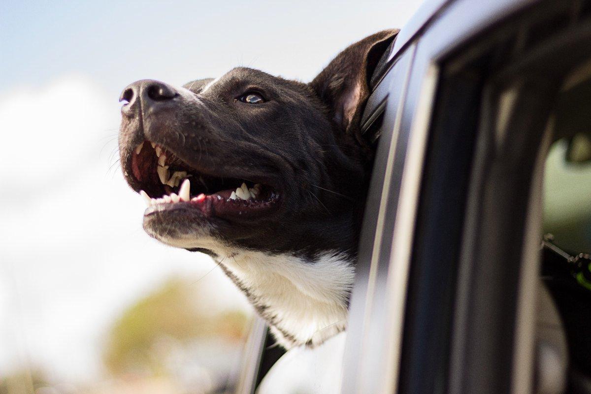 engelsk staffordshire terrier hvalpe