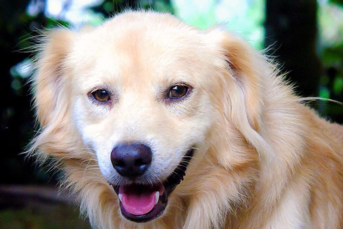 den mindste hund i verden
